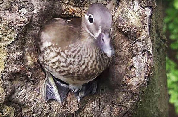 Мандаринка (птица)