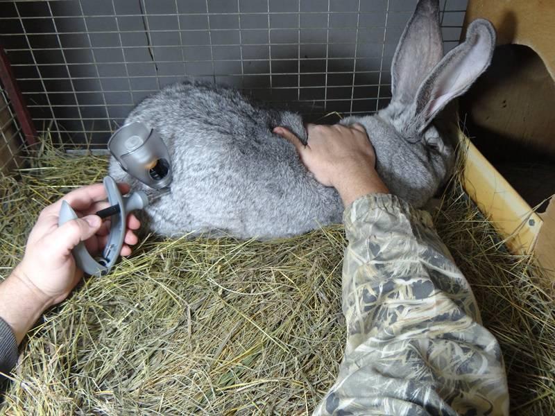 Прививки кроликам: какие и когда делать