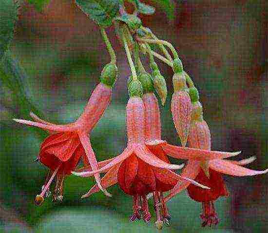 О лучших сортах фуксии: название, описание, как выглядят цветы, особенности