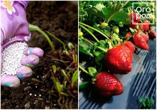 Чем подкормить клубнику – когда проводить процедуру, особенности использования разных средств
