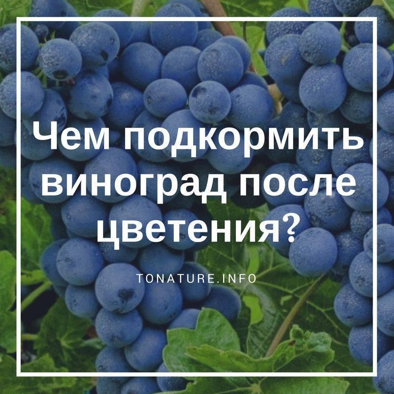 Подкормка винограда: когда, какие удобрения необходимы винограднику