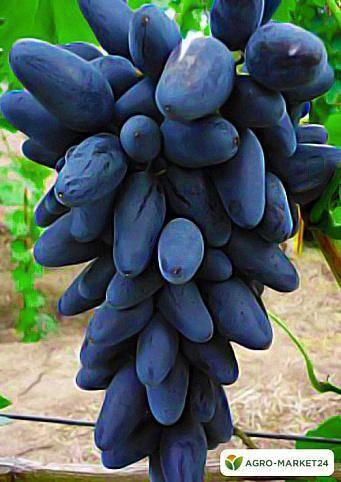 Виноград викинг описание сорта — ягоды грибы