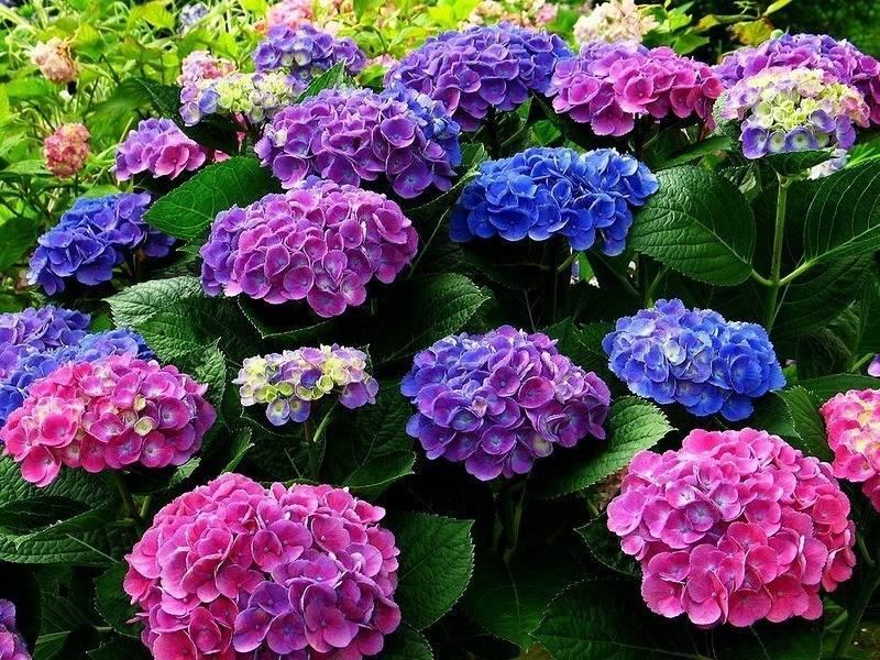 Удобрение, полив и подкормка гортензии для обильного цветения в саду