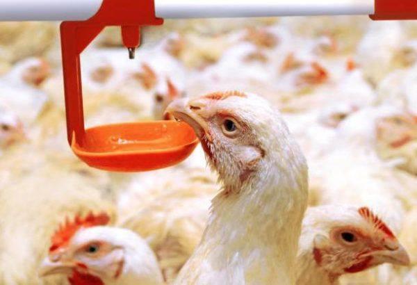 «байтрил»: инструкция по применению для цыплят