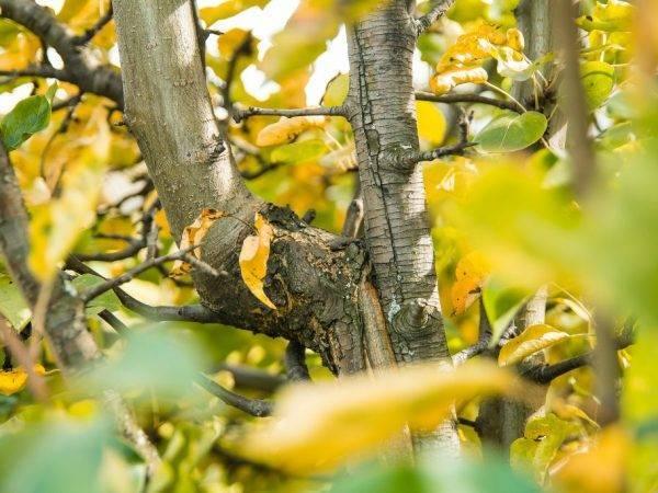 Чернеют листья на груше что делать
