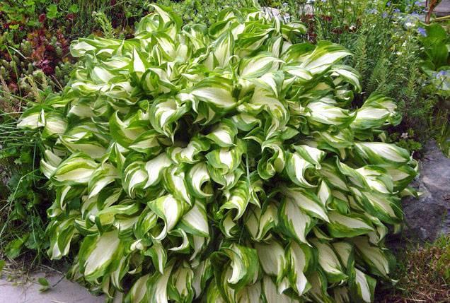 Белые сорта хосты: описание и рекомендации по выращиванию
