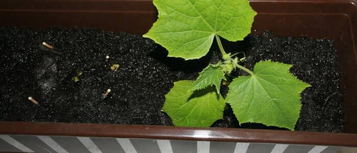 Огурцы на подоконнике: технология выращивания - подробная информация!