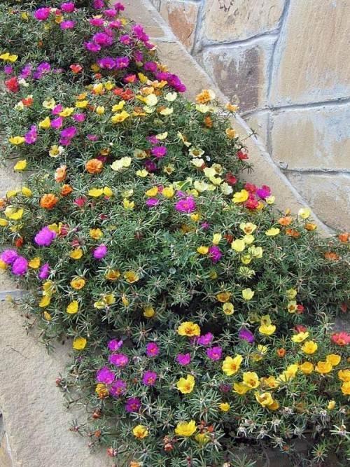 Портулак махровый - выращивание из семян, секреты правильной посадки