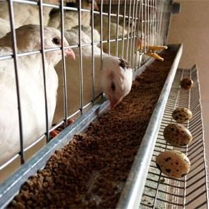 Кормление перепелов в домашних условиях: нормы и рацион питания