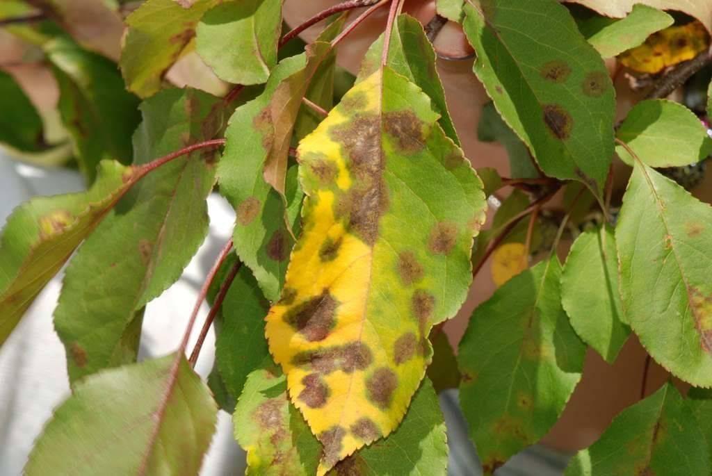 Какие бывают болезни молодых яблонь и их лечение, фото примеры
