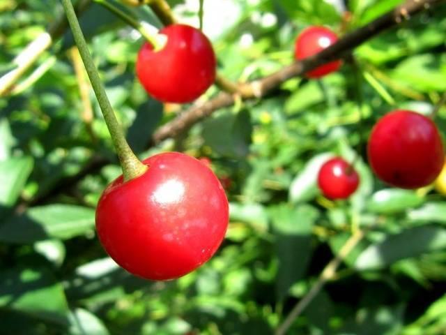 Ботаническое описание и особенности выращивания вишни сорта ксения