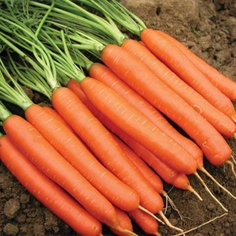 Когда сажать морковь в сибири в открытый грунт, а также лучшие ранние сорта для выращивания, сроки посева семян скроспелого овоща весной, правила хорошего ухода