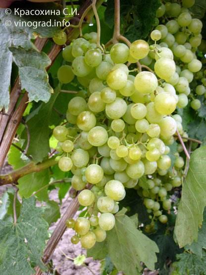 Сорт винограда Краса Севера (Ольга): особенности, преимущества и недостатки