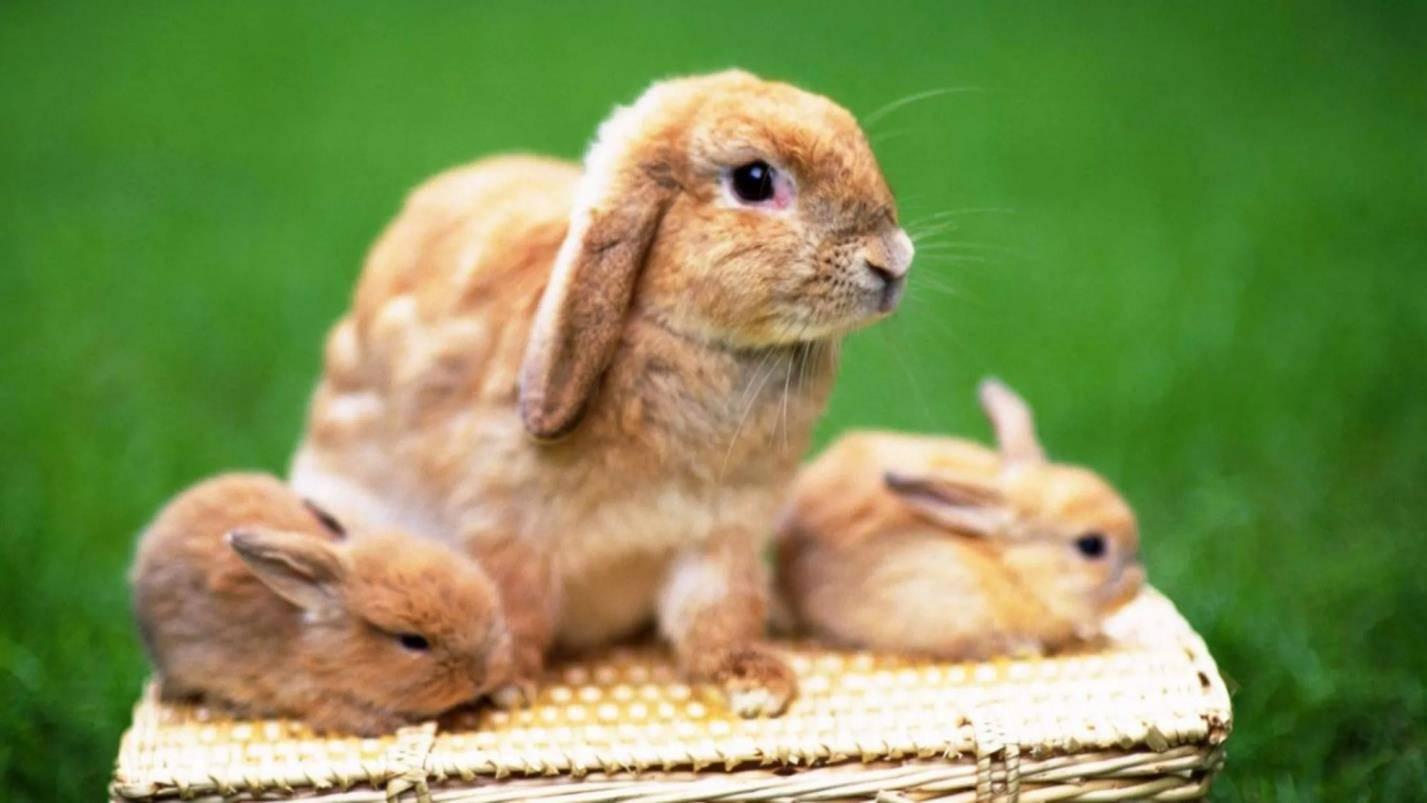 Почему крольчиха разбрасывает крольчат. почему крольчиха сразу после окрола разбрасывает крольчат из гнезда. основные причины отказа от кормления