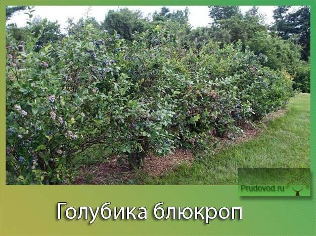 Выбираем лучшие сорта садовой голубики по характеристикам и региону высаживания
