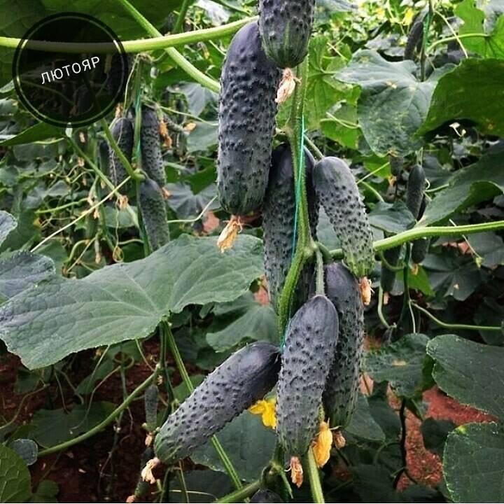 Гибрид огурцов «лютояр f1»: фото, видео, описание, посадка, характеристика, урожайность, отзывы