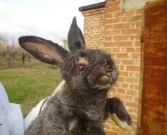 Почему вздувается живот у кролика, симптомы и лечение