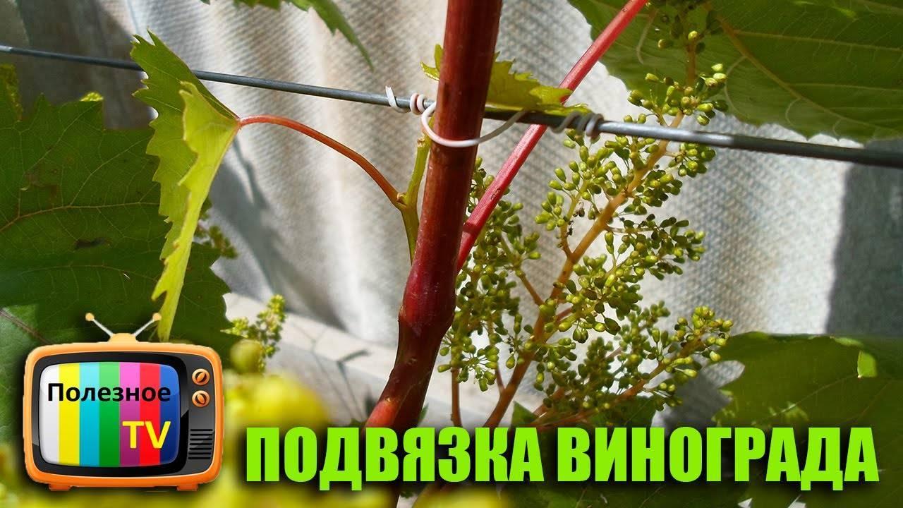 К чему и как правильно подвязать лозу винограда