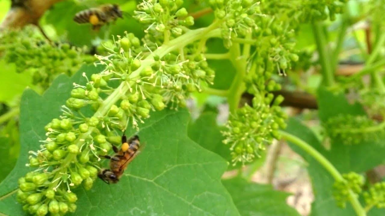Осыпание завязи у винограда