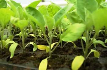 О побелении листьев у рассады баклажанов: причины и что делать с культурой