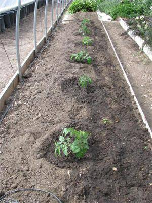 Посадка томатов в открытый грунт рассадой