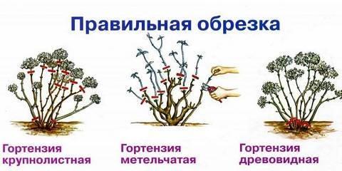 Подготовка гортензий к зиме и уход за ними осенью: полное руководство