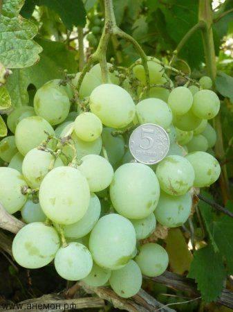 Популярный у садоводов столовый сорт винограда — «кеша»