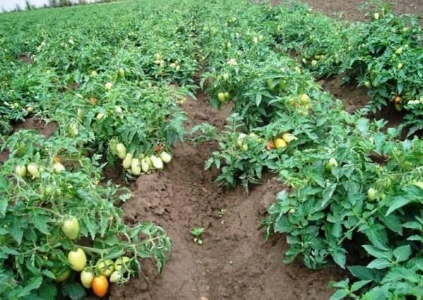 Урожай кабачков не заставит ждать, если правильно начнешь сажать