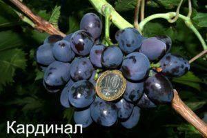 Виноград «кардинал»: описание сорта, фото, отзывы