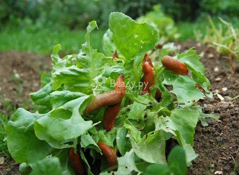 Слизняки на клубнике?! как спасти урожай?