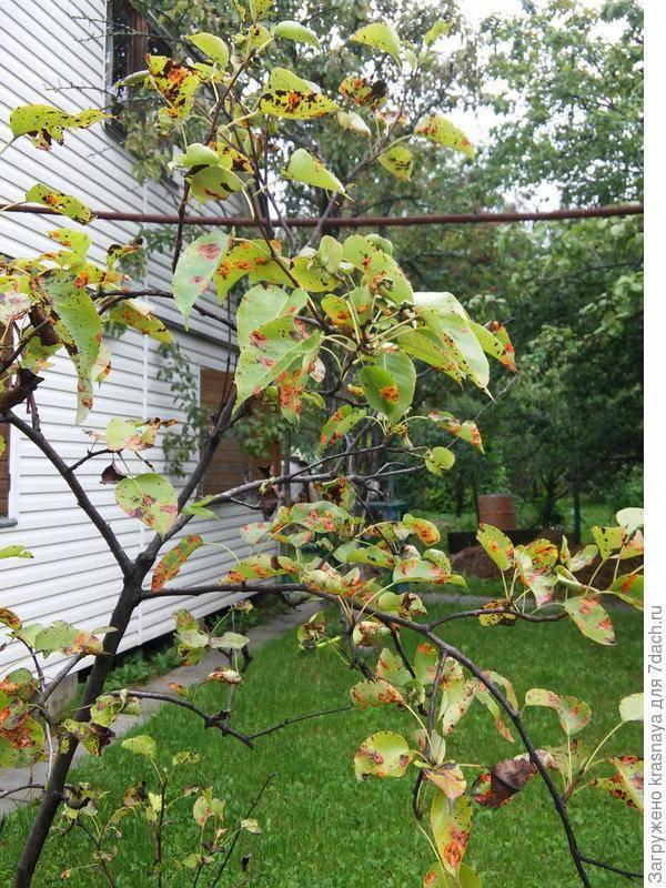 Что делать, если летом на яблоне и груше желтеют листья