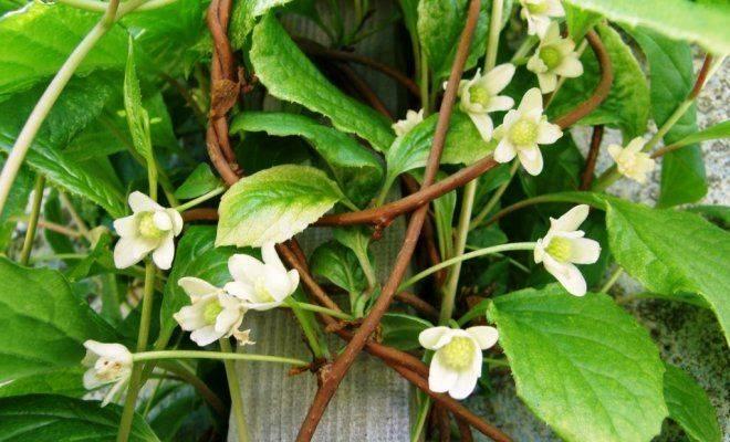 Китайский лимонник - выращивание и уход, посадка, размножение