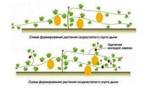 Как нужно прищипывать дыни в открытом грунте. как прищипывать арбузы и дыни: подробная схема