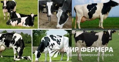 Голштинская порода коров (31 фото): характеристика голштино-фризского крс. сколько эта порода коров дает молока? особенности содержание и нормы кормления