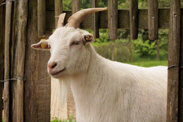 Разведение коз в домашних условиях для начинающих: советы