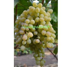 Виноград восторг белый