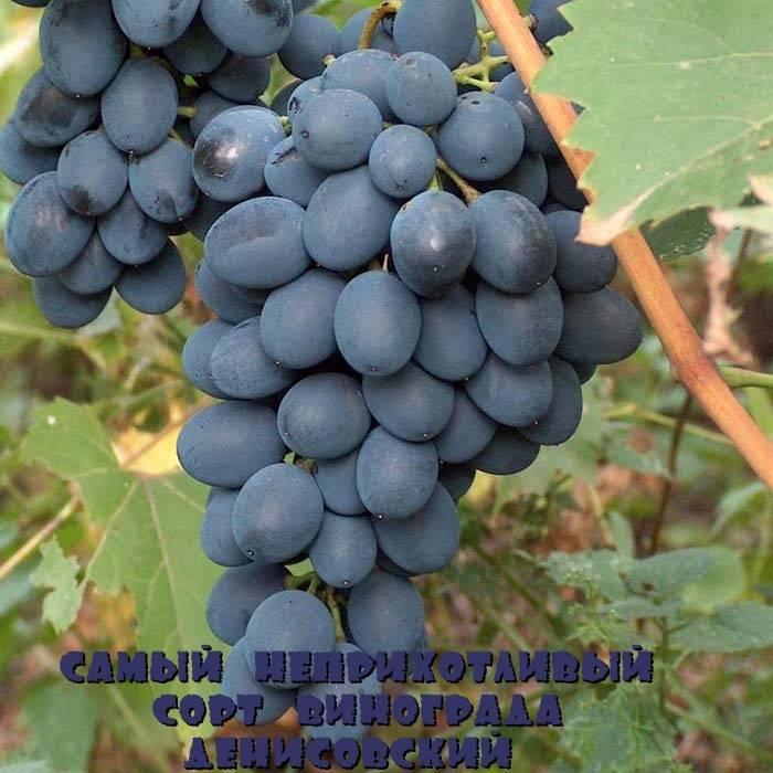 Лучшие сорта винограда (классификация, столовые сорта)