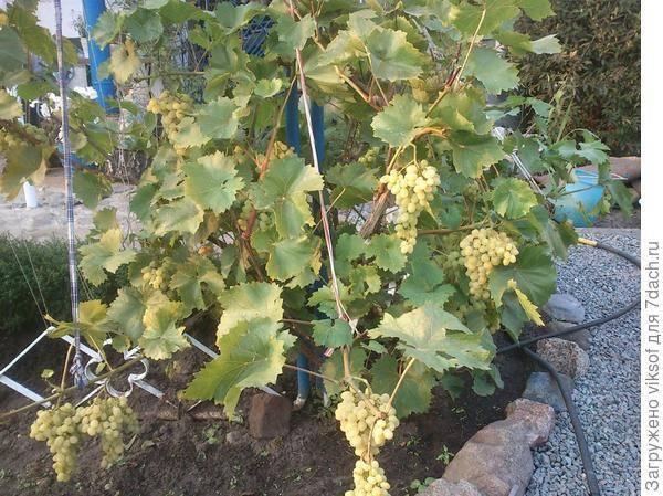 Виноград не распускает почки что делать