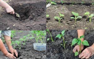 Выращивание помидоров под укрывным материалом