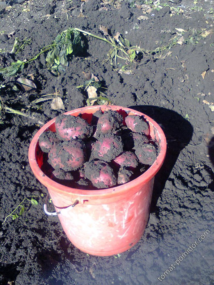Особенности выращивания картошки рамона — что это за сорт?