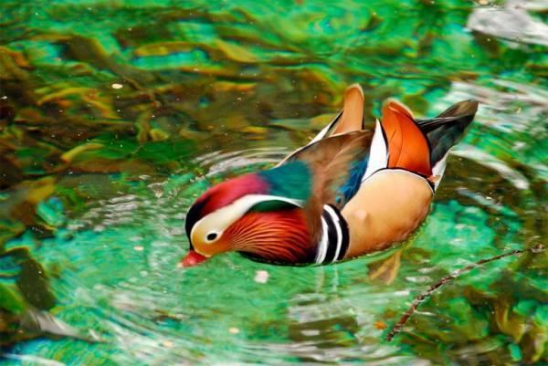 Утка-мандаринка (24 фото): где она живет и чем интересна? описание «китайской» птицы. как выглядят самки и самцы? чем они питаются?