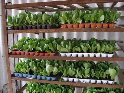 Выращивание салата на подоконнике в домашних условиях