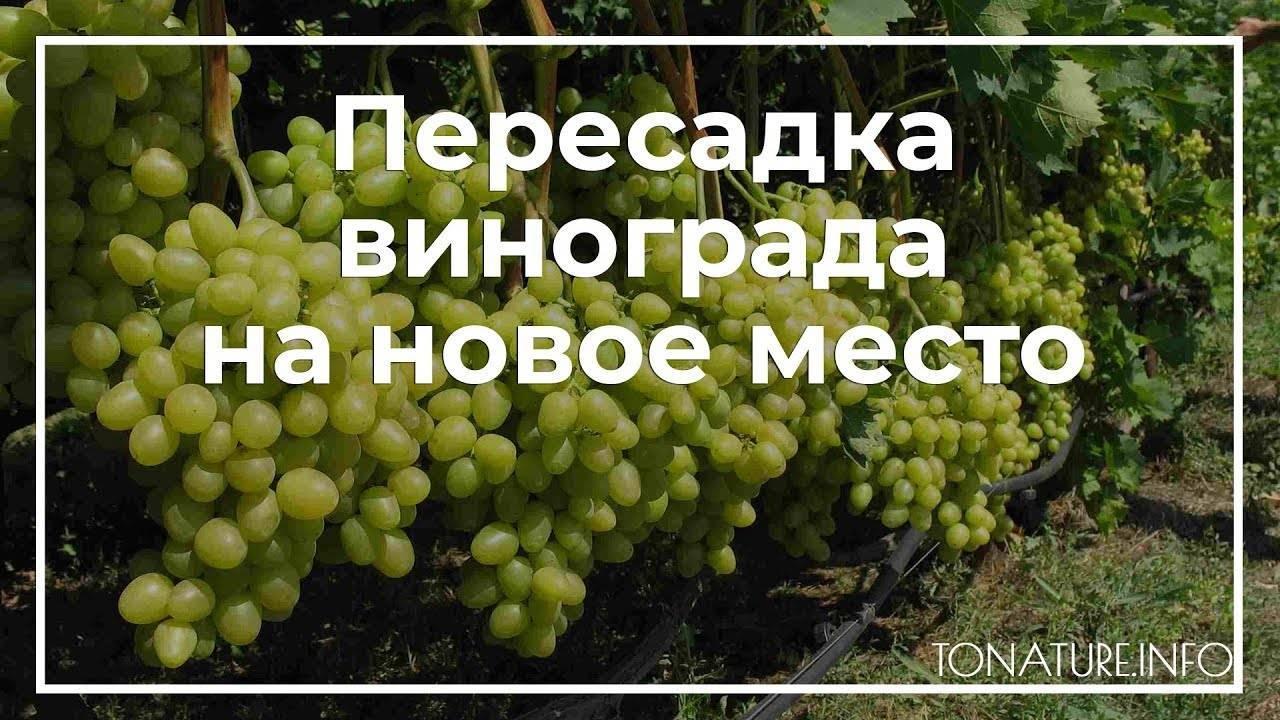 Весенняя пересадка винограда в другое место