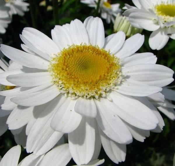 Ромашка садовая крупная многолетняя: посадка, выращивание и уход