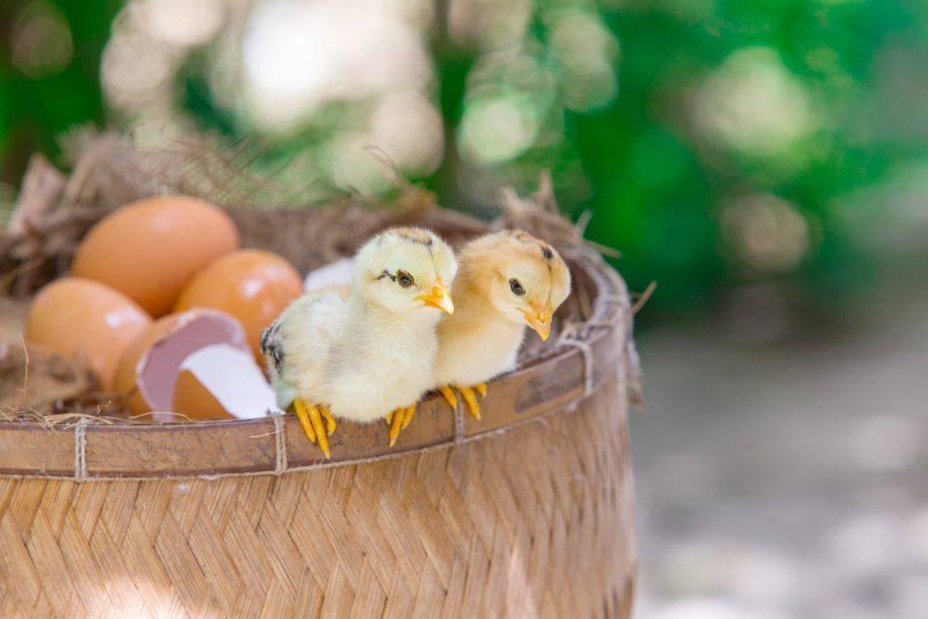 Выведение гусят подкладываем яйца под гусыню: мой опыт