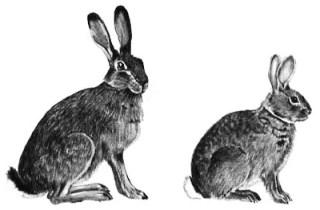 Чем отличается заяц от кролика: сходство, отличие и характеристики