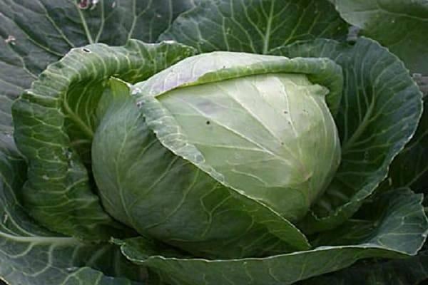 Как вырастить ранние сорта капусты в открытом грунте
