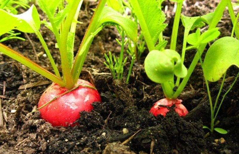 Температура, как важный фактор для редиса: когда сеять, при какой растет, боится ли заморозков?