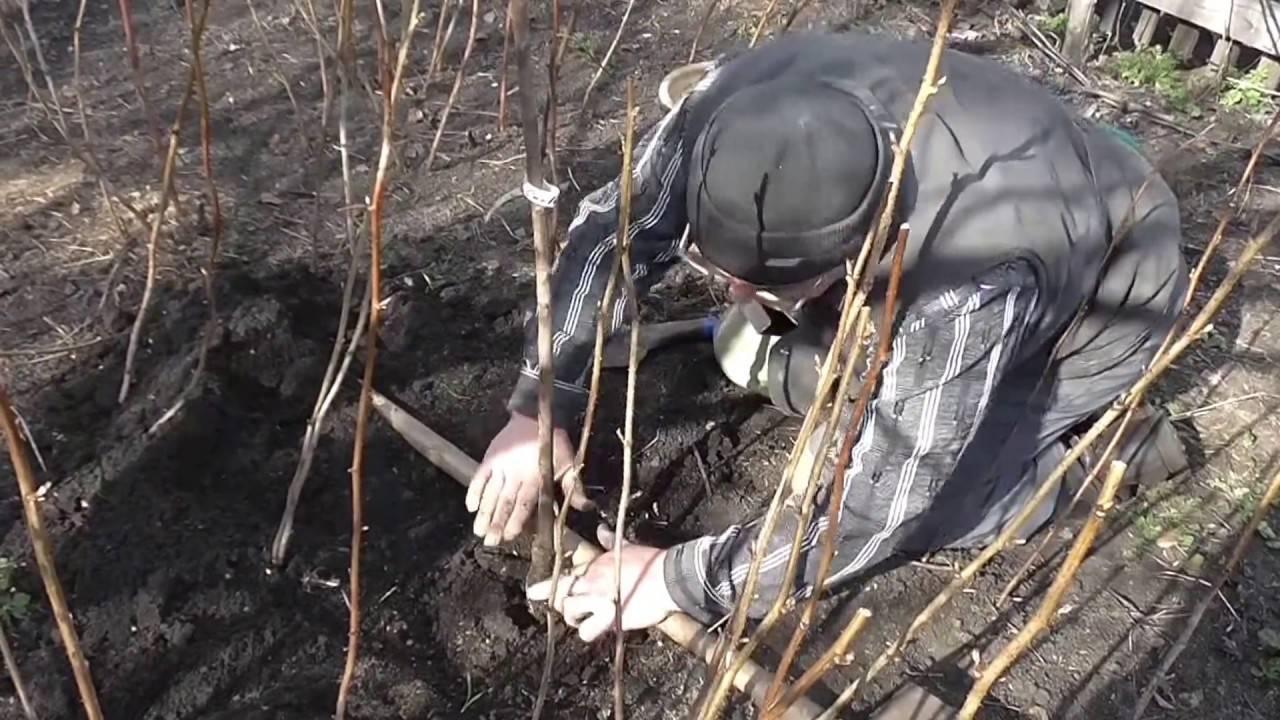Рекомендации как посадить сливу весной