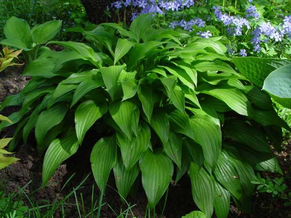 Хоста (64 фото): что это такое? оформление участка цветами. какую почву любят уличные растения в саду? хоста ланцетолистная и другие самые красивые виды